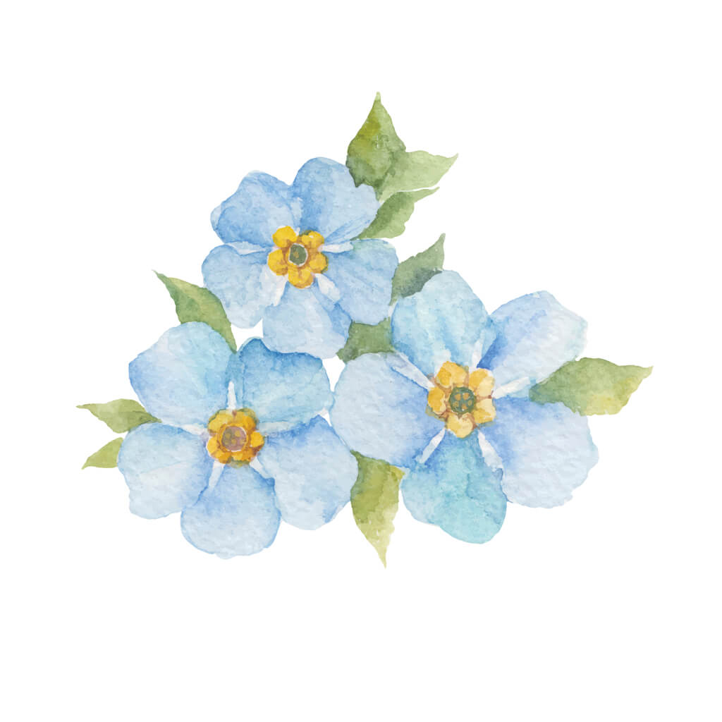 Forget-me-not flowers on white background.